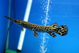 Ca-sau-hoa-tien-Lucky-Fish