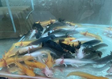shop-ban-ca-axolotl-tphcm-4